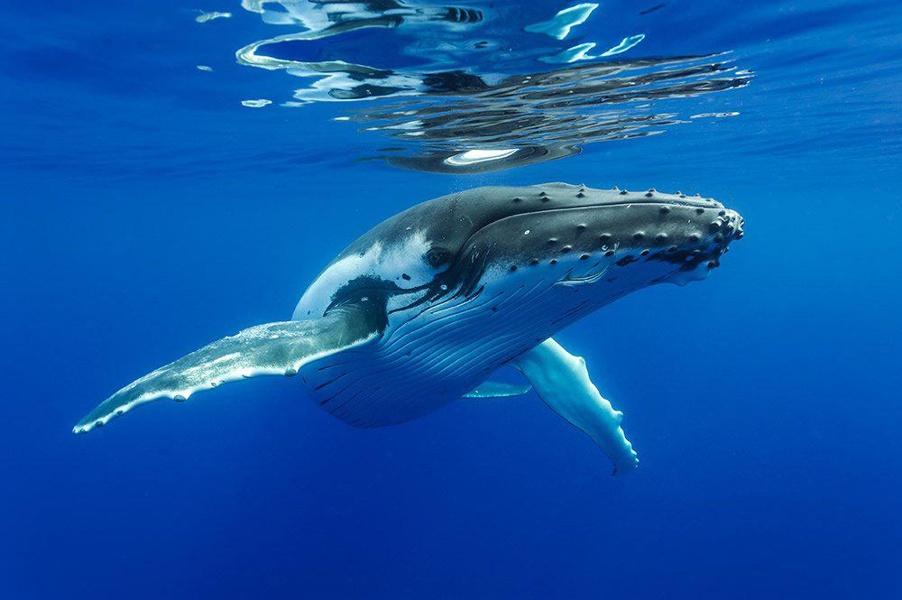 De juillet à octobre, les baleines viennent mettre bas et se protéger dans les eaux polynésiennes. Une fierté pour le territoire et une manne économique considérable ©Sylvain Girardot