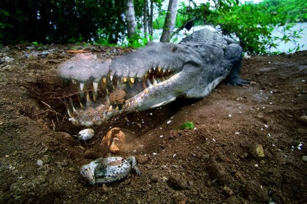 Uns faune riche qui compte parmi elle des crocodiles. Ici, une femelle ouvrant les coquilles de ses petits ©Christian Ziegler