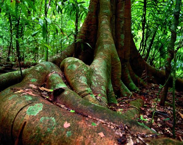 Barro Colorado, c'est aussi une forêt tropicale verdoyante abritant 1200 espèces d'arbres et de plantes. Ici, un figuier et ses racines ©Christian Ziegler