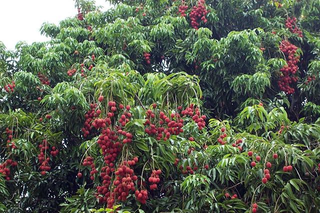 Il peut y avoir plus d'une dizaine de letchis par grappe. L'arbre du letchi peut atteindre 15 à 20 mètres et possède un feuillage dense ©DR