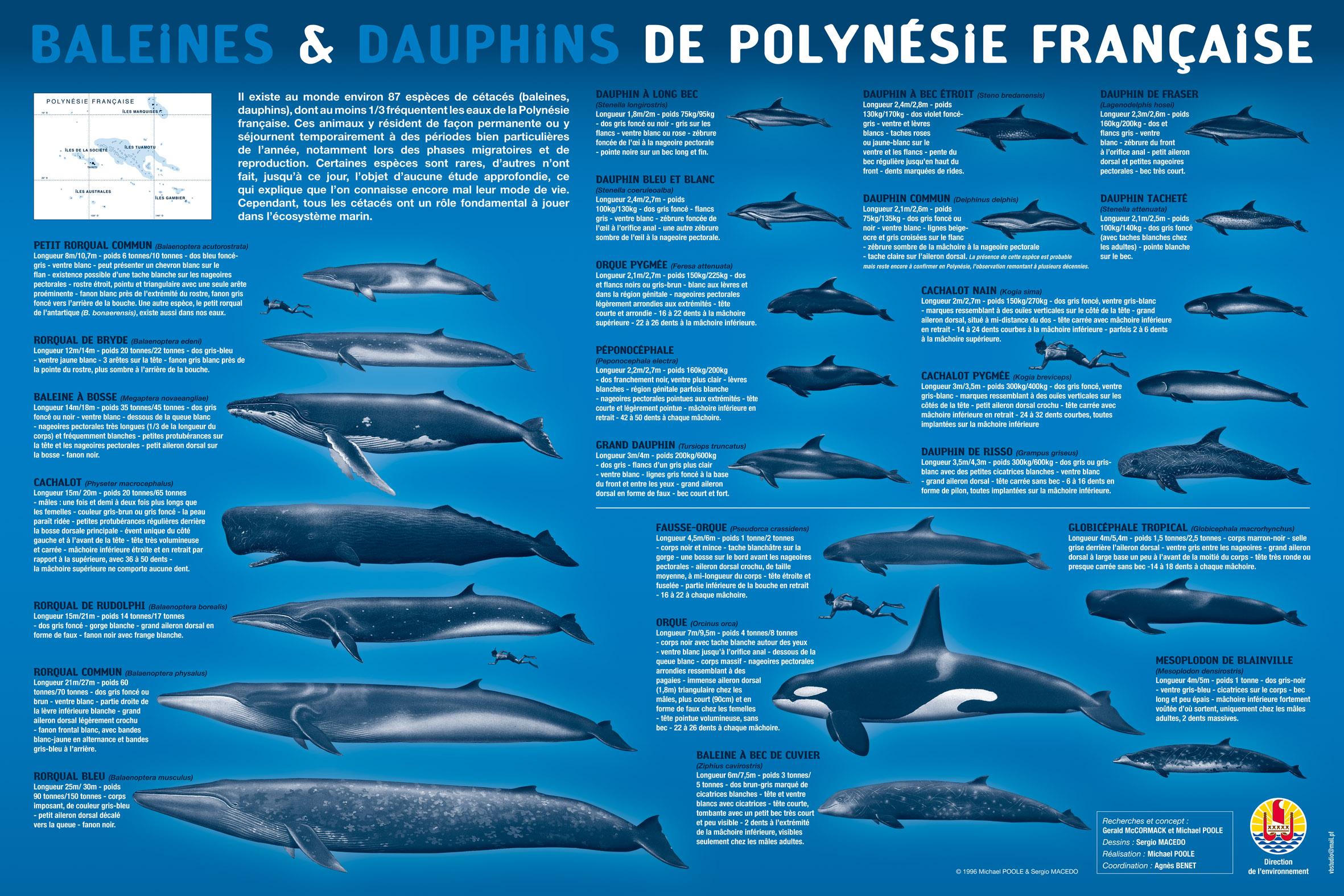 La Direction de l'Environnement de Polynésie française a dressé une liste des cétacés et baleines présentes dans les eaux polynésiennes ©Diren