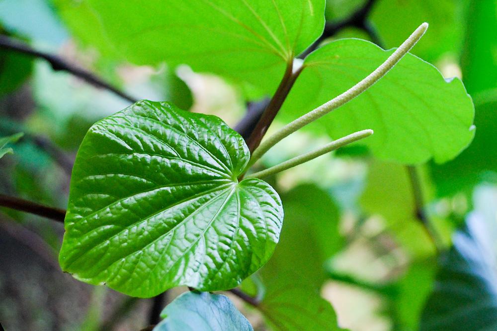 La feuille du kava, piper methysticum ©Tahiti Heritage
