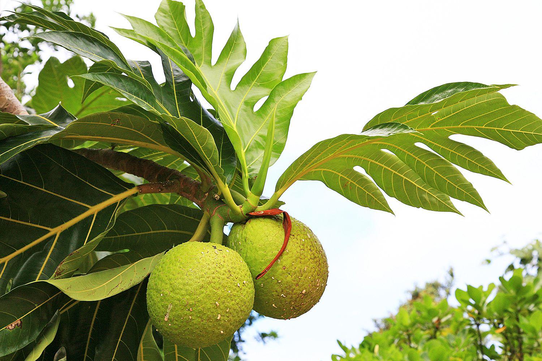 Le fruit de l'arbre à pain, ou 'Uru, un des aliments de base des peuples du Pacifique ©Futura-sciences / DR