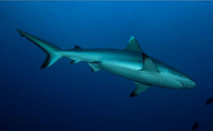 Polynésie française : Deux pêcheurs attaqués par un requin