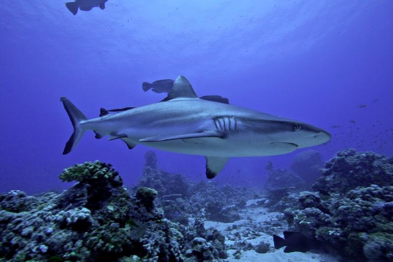 C'est un requin gris de récif, appelé raira en Polynésie, qui est responsable de l'attaque survenue ce lundi à Makemo ©Sharkeducation