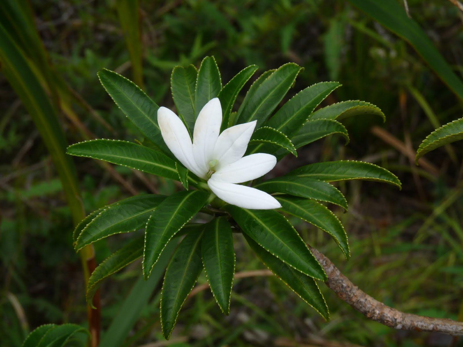 """L'endémique, rare et menacée Tiare Apetahi, qui pousse exclusivement sur le mont Temehani à Raiatea. """"On touche avec les yeux et on regarde avec les mains"""" dirait nos grands-mères ©Emilie & Nico / Blogspot"""