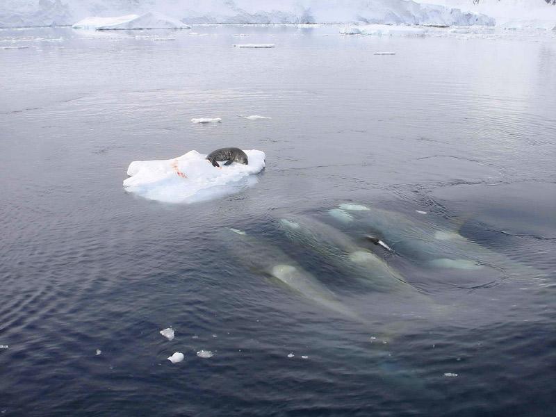"""Un """"attaque à la vague"""", technique efficace et répandue chez les Orques afin de briser les morceau de glace où les Phoques cherchent refuge ©DR"""