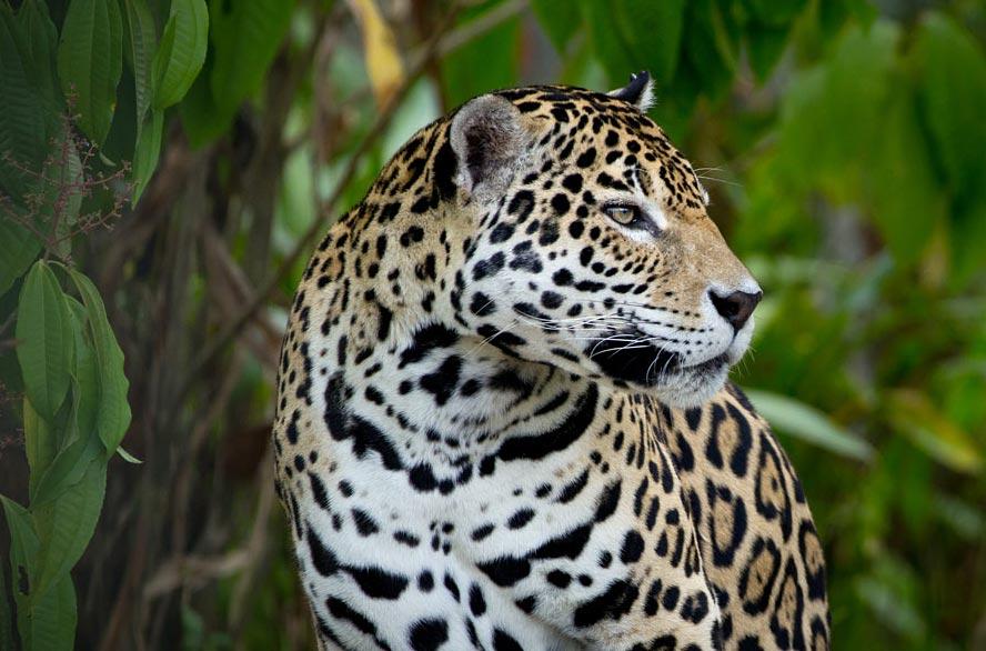 Un jaguar du Parc amazonien de Guyane ©G. Feuillet