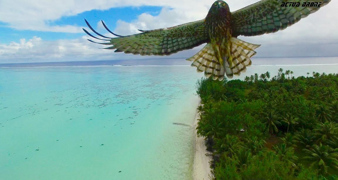 L'histoire ne dit pas s'il s'agit du demi-dieu métamorphe Maui, qui dans le dernier Disney, se plait à se transformer en épervier ©Thierry Eyraud / Actua Drone