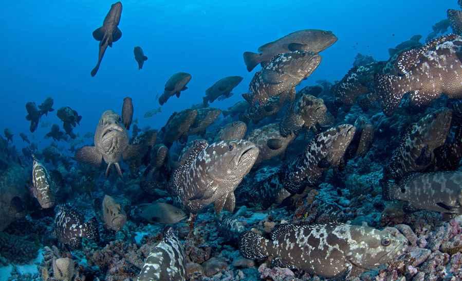 Banc de mérous dans les eaux polynésiennes ©DR