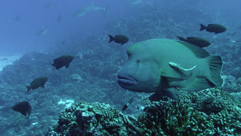 Un napoléon, espèce en voie de disparition, est plutôt commune dans les eaux polynésiennes ©DR