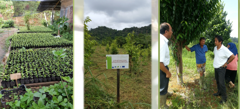 Exploitation d'Aquilaria en Guyane © DR