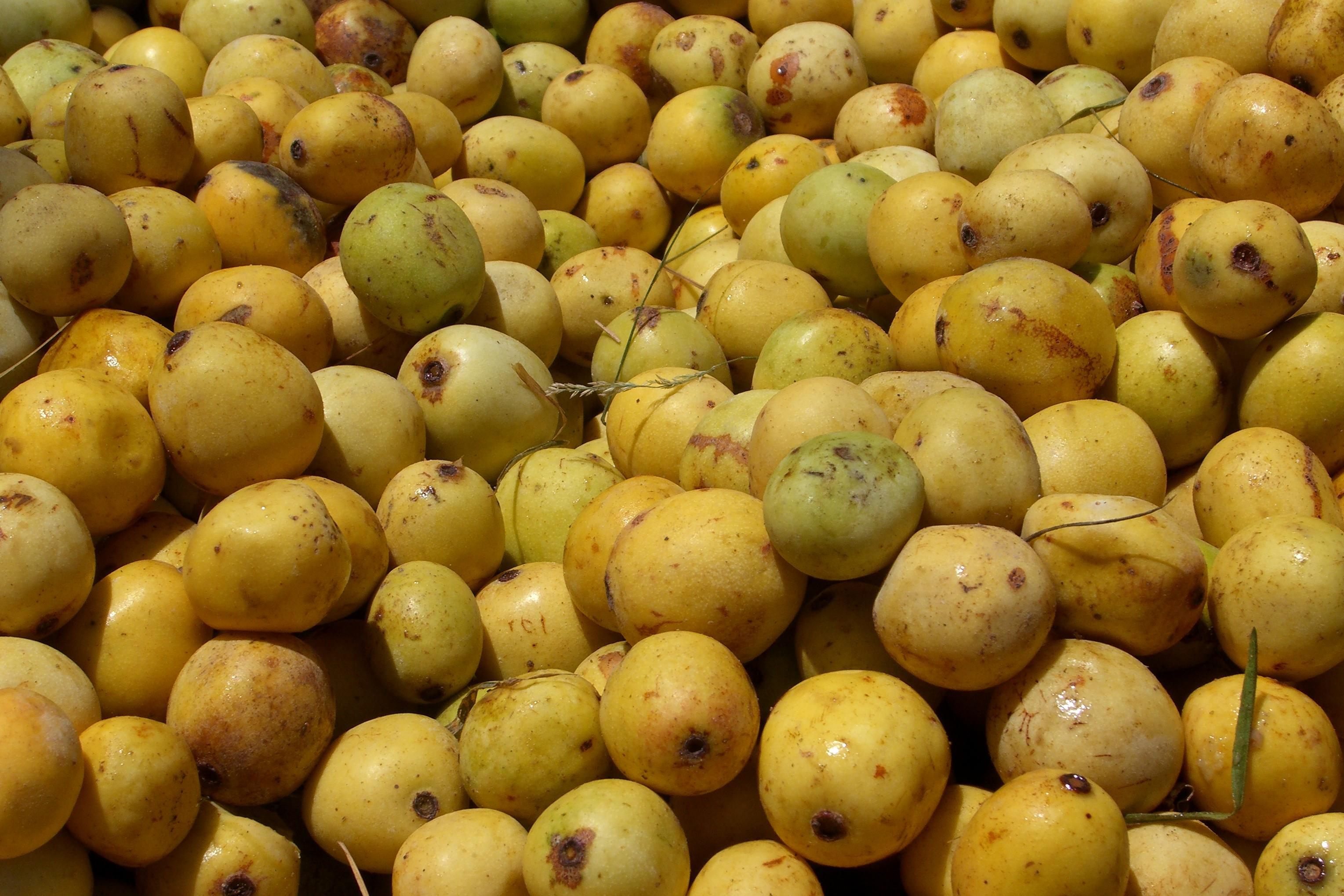 Le marula, fruit duquel on collecte l'huile de marula ©DR