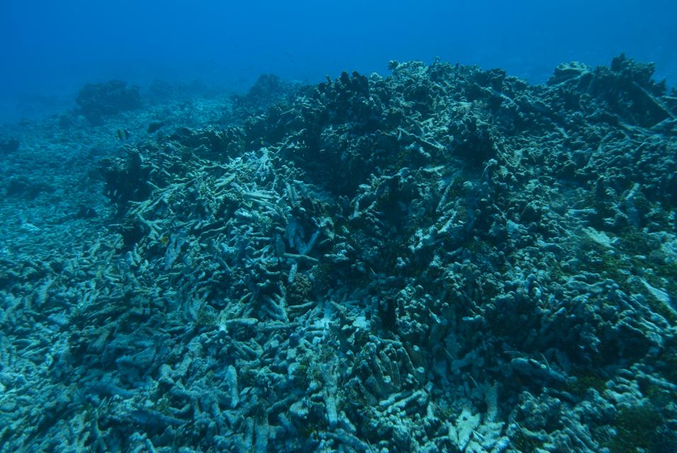 L'expédition Tara notent un blanchissement massif des coraux dans le Pacifique ©M. Dupuis