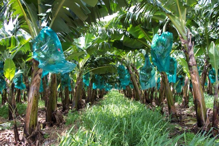 Exploitation de bananiers à Capesterre Belle-Eau, (Guadeloupe), le 10 avril 2018 ©Hélène Valenzuela / AFP