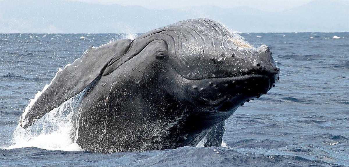 Les professionnels du tourisme et associations environnementales sont inquiets de l'ouverture de la ZEE mauricienne aux navires de pêche japonais, notamment pour la protection des mammifères marins ©CNRS