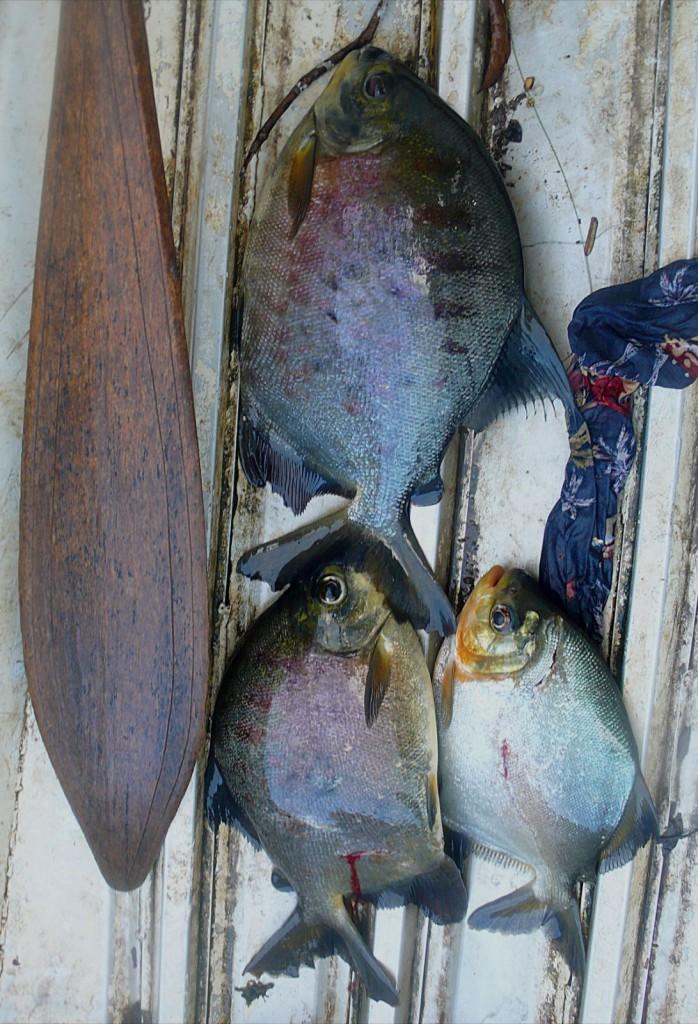 © IRD/Laurence Maurice Poissons pêchés sur le fleuve Oyapock par des Wayãpis pour l'analyse du mercure et le traçage de ses sources par isotopie