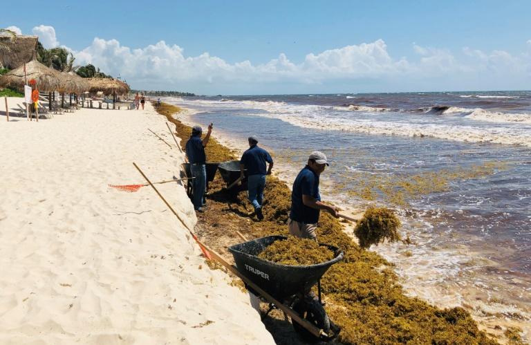 Ramassage d'algues sargasses à Tulum ©Daniel Slim / AFP