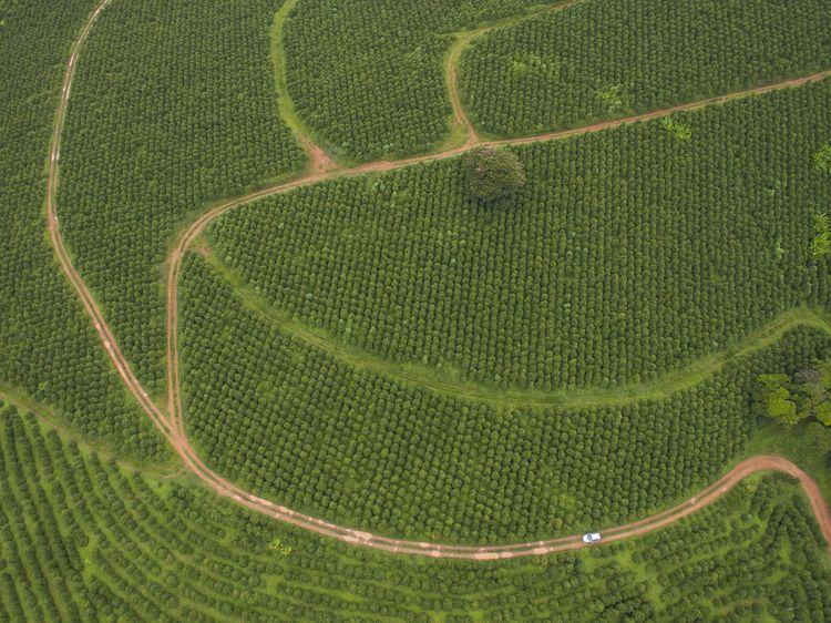 Plantations de café en plein soleil au Brésil ©Getty Images