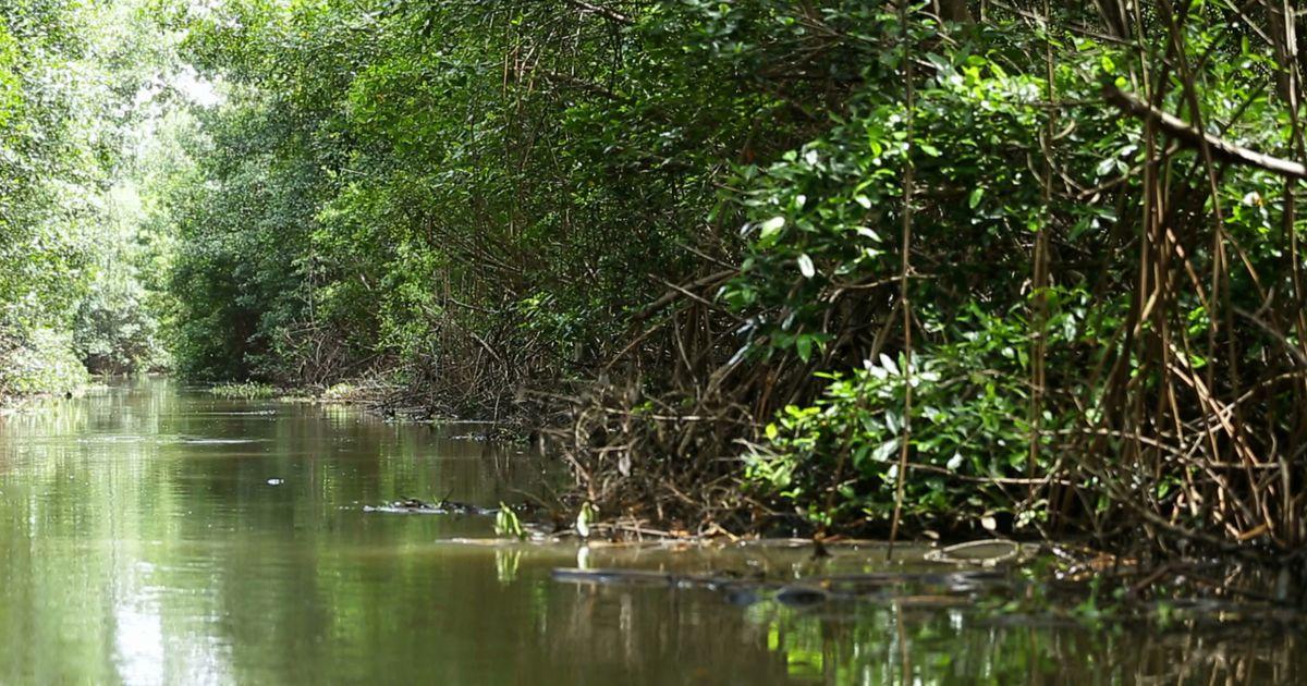 Mangrove de Martinique ©Géo