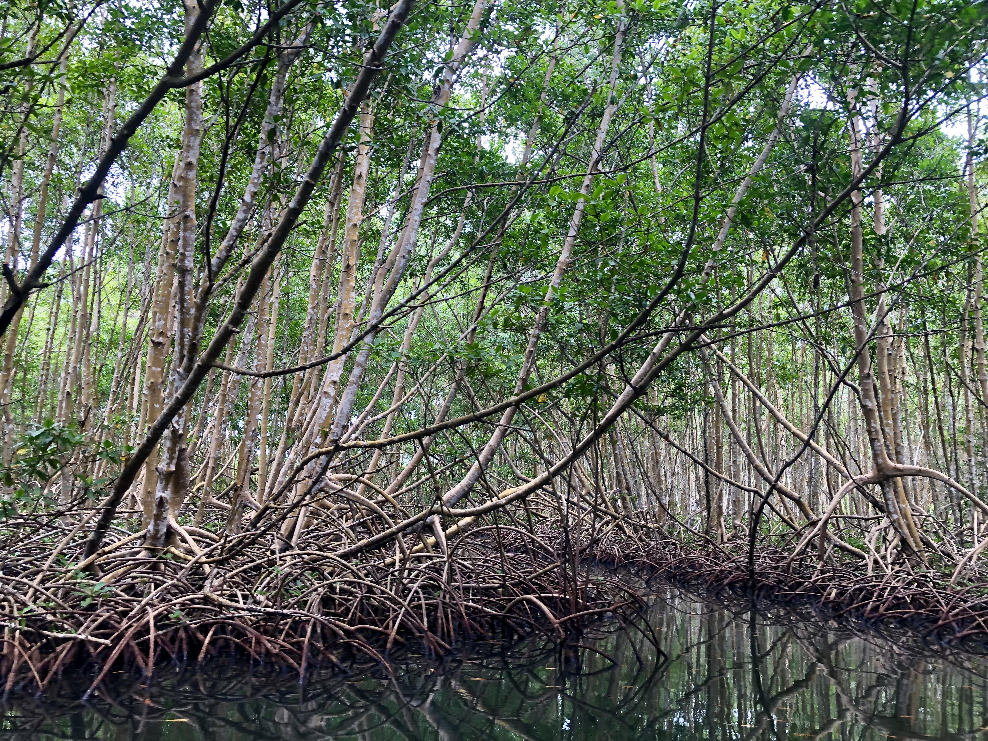 Mangrove_de_Guadeloupe