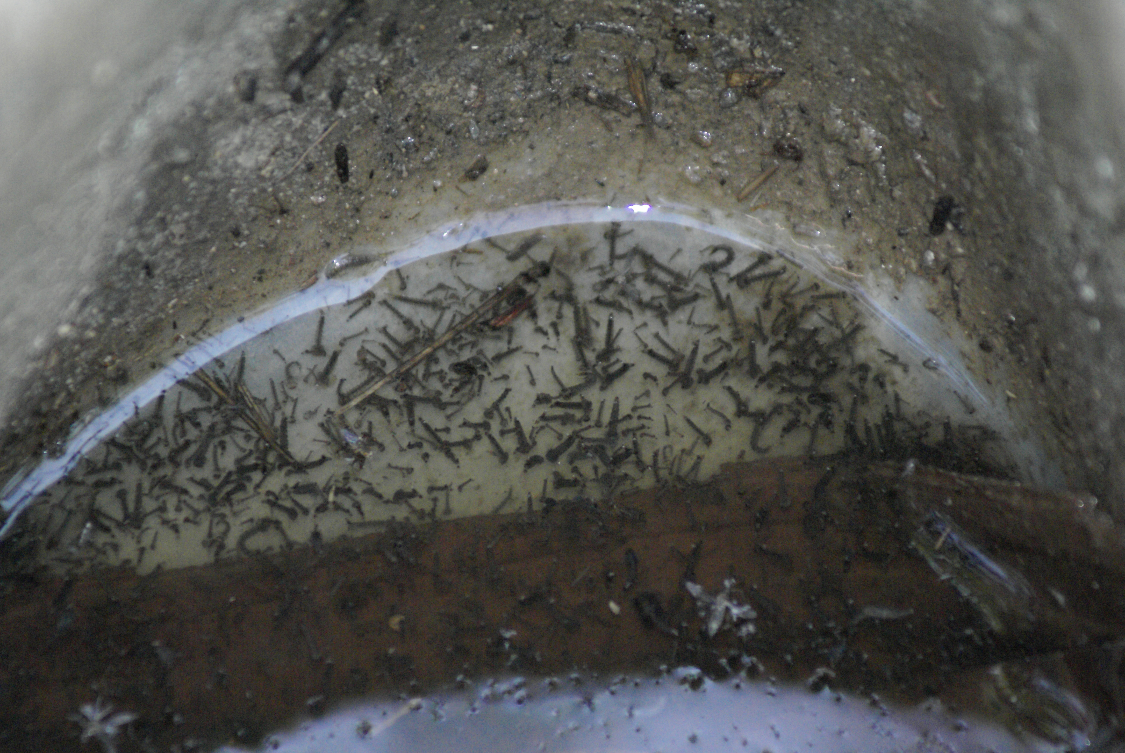 Un gîte larvaire, bête noire des autorités sanitaires ©OMS