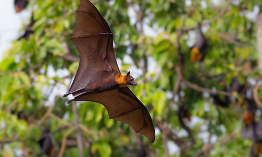 Une maladie bactérienne liée à la chauve-souris étudiée en Nouvelle-Calédonie
