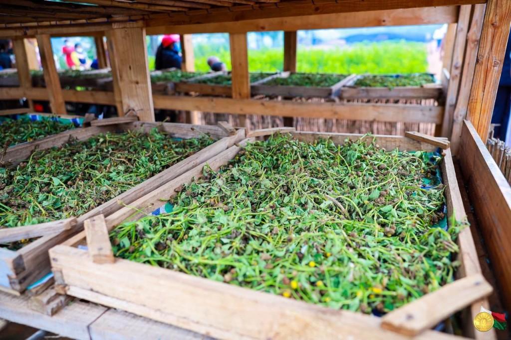 Des plants d'artémisia au sein de l'usine Bionexx à Madagascar © Twitter Andry Rajoelina