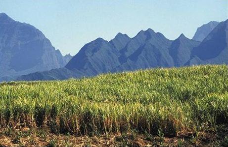 La Réunion : Les centres de recherche du CIRAD et d'eRcane signent un accord de coopération pour la filière de la canne à sucre