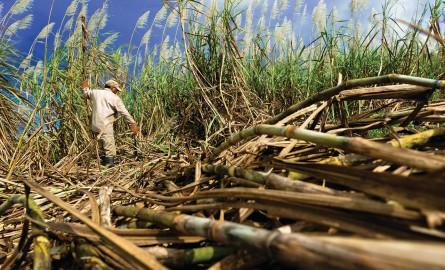 Économie à La Réunion : La campagne sucrière suspendue en raison du contrôle qualité modifié