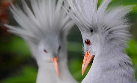 Nouvelle-Calédonie : La situation des Cagous, oiseau emblématique, est « préoccupante »