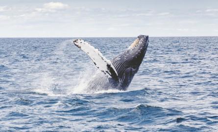 Biodiversité: Une nouvelle mission d'observation des baleines à bosse en Nouvelle-Calédonie