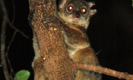 A Madagascar, presque tous les lémuriens menacés, dont un tiers sont proches de l'extinction